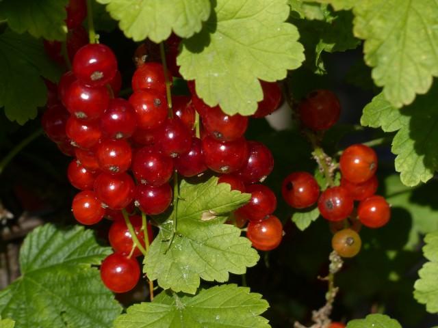 Красная смородина фото растения