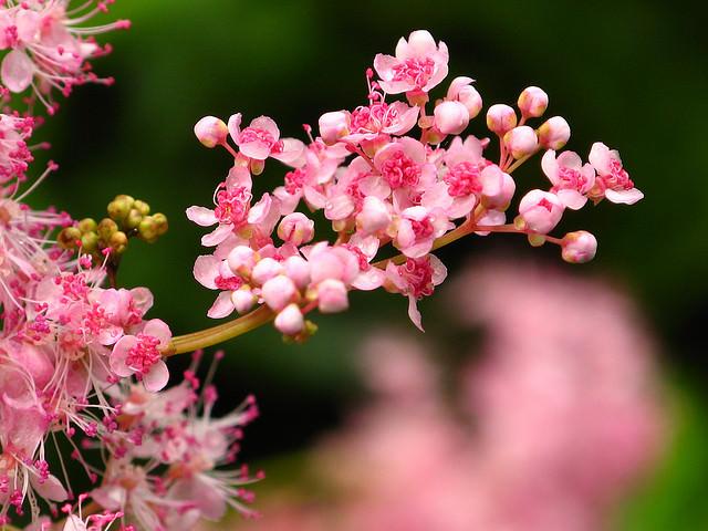 Цветы астильба посадка и уход фото