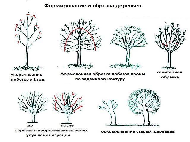 Схема обрезка плодовые деревья