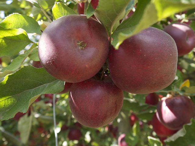 Схема обрезки яблони по чашеобразной схеме