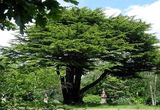 Lebanon-cedar-hc