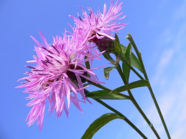 Василек фото цветов