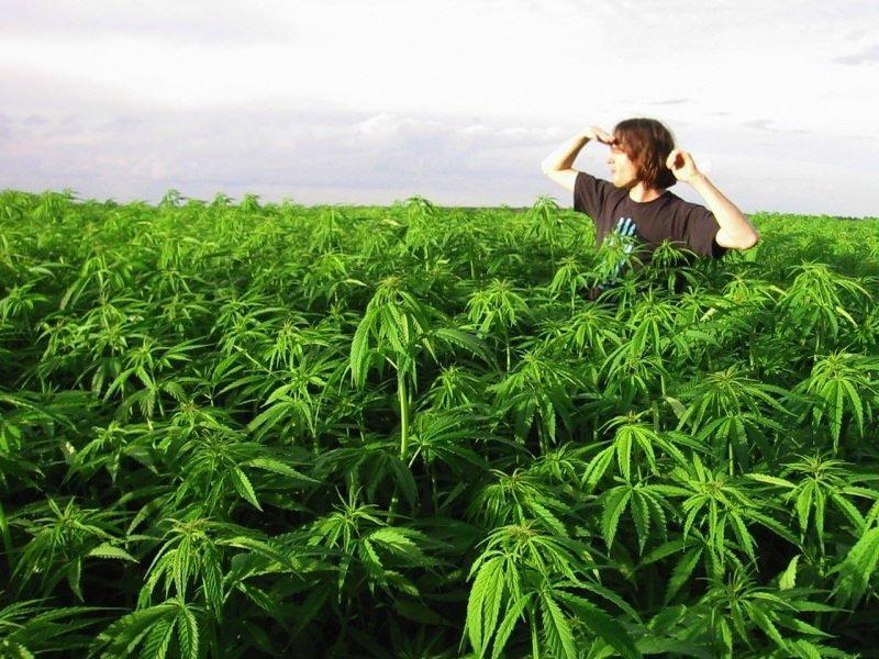 Как выращивать канаплю?