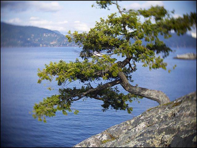 Породы хвойных деревьев и Кустарников