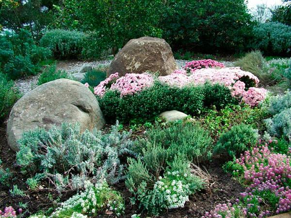 Стелющиеся растения для рокария фото