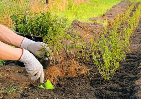 Живая изгородь из ели своими руками