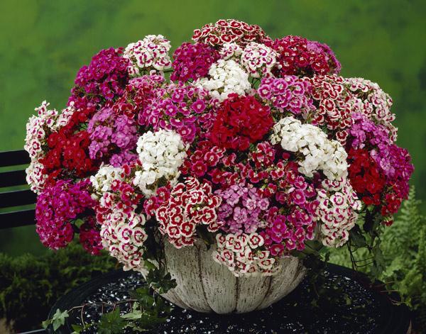 Какие цветы можно посеять в августе