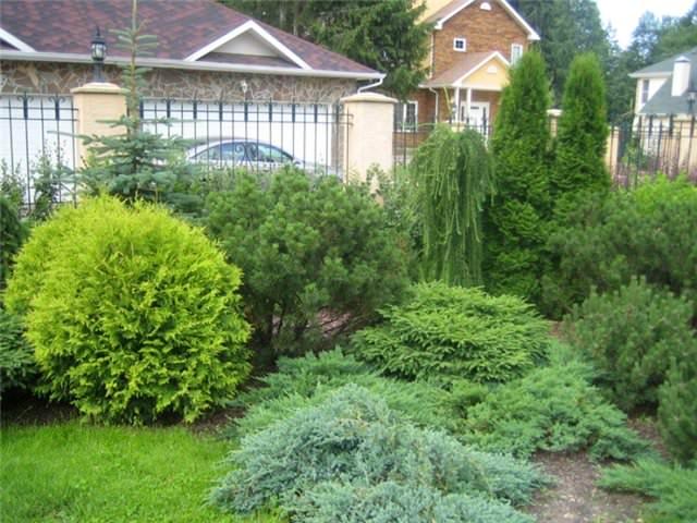 Сосновые виды деревьев