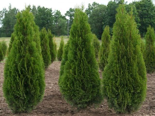 Характеристика хвойных деревьев