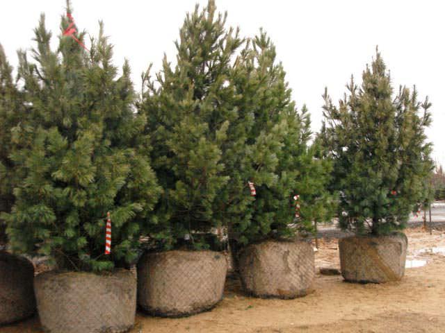 Виды деревьев хвойных южных пород