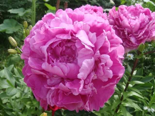 Пион фото цветок