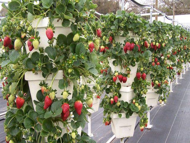 Клубника выращивается в горшках методом гидропоники