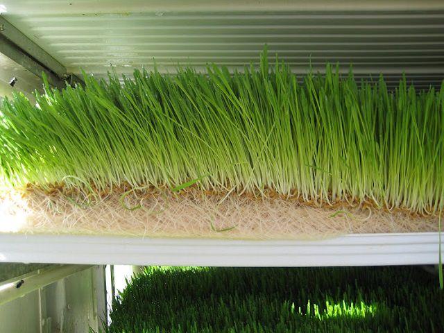 Зеленый лук выращивается способом гидропоники