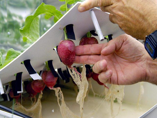 Фермер демонстрирует редис, выращенный способом гидропоники