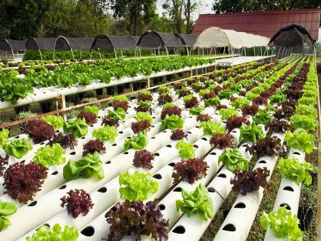 Листовой салат растет в трубах