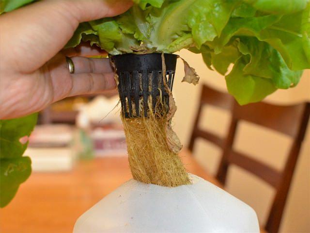 Садовод демонстрирует растение в горшке