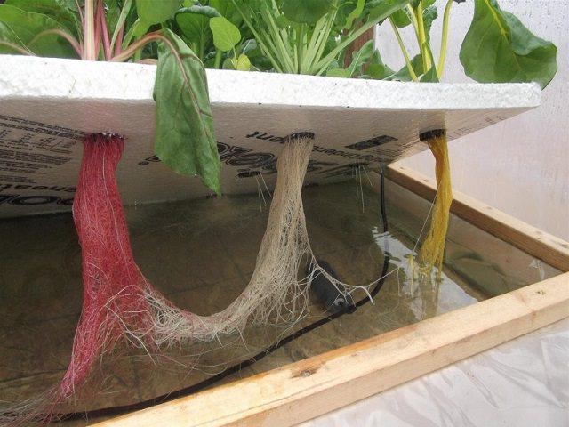 Корни растений, выращенных способом гидропоники