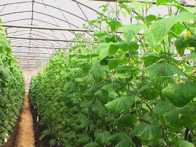 Огурцы растут на шпалере в теплице