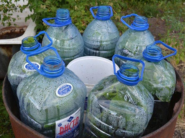 Огурцы растут в простейшем парнике из пластиковых бутылок