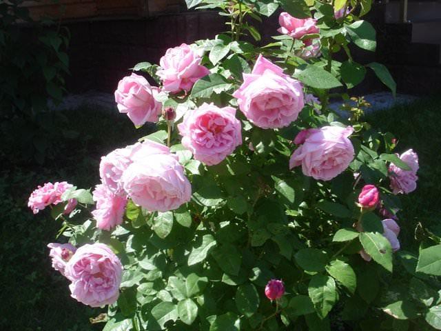 Чайные розы сорта и
