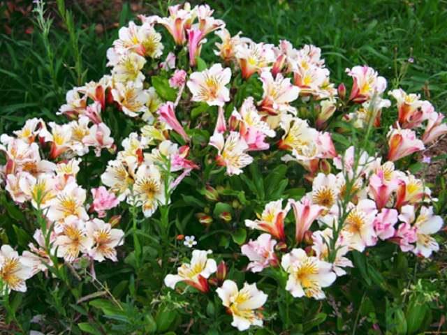 Цветущий куст альстромерии