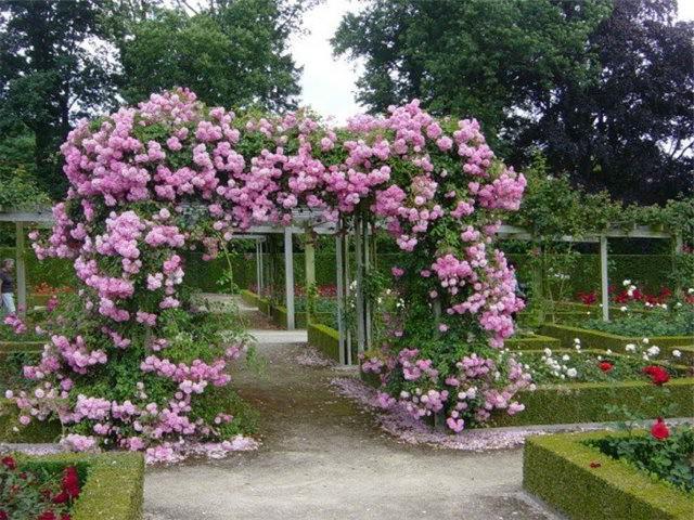Увитая розовыми цветами арка во дворе