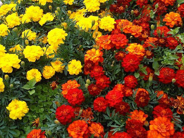 Неприхотливые цветы на дачу