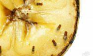 Дрозофилы на кусочке ананаса