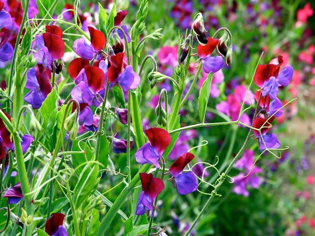 Растения неприхотлиаые для забора