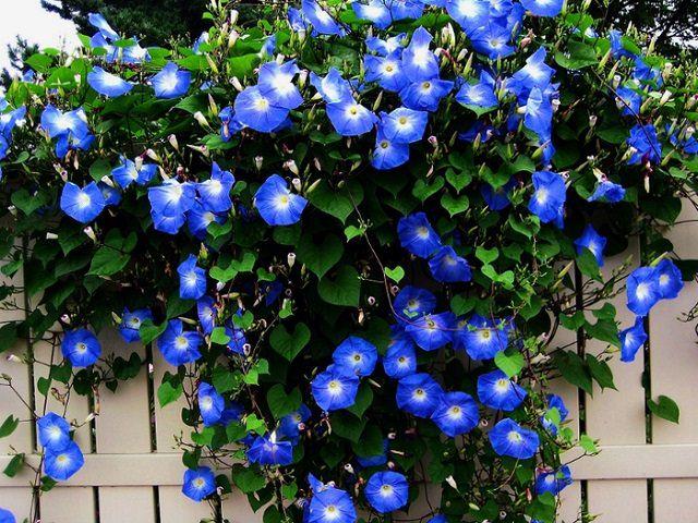 Быстрорастущие вьющиеся растения