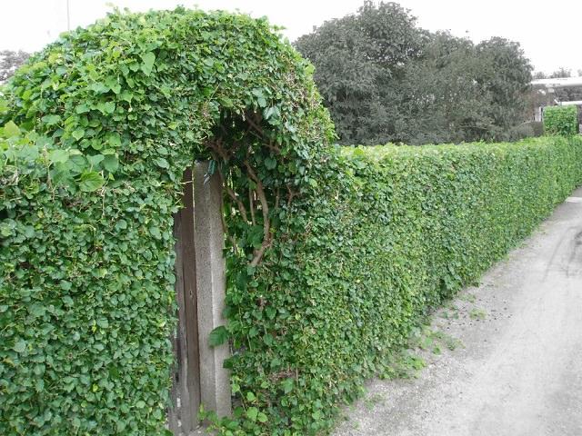 Красивая живая изгородь с аркой