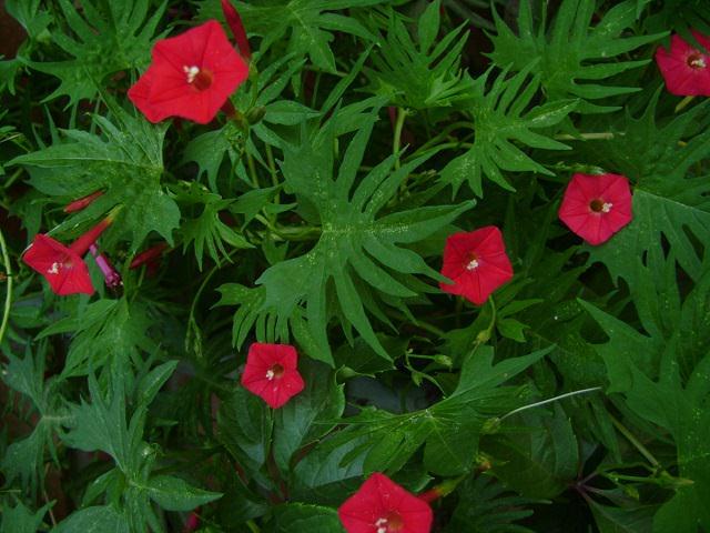 Вьющиеся цветы фото и названия