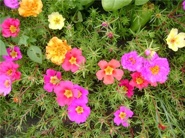 Побеги и цветы портулака