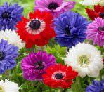 Много ярких цветов анемоны