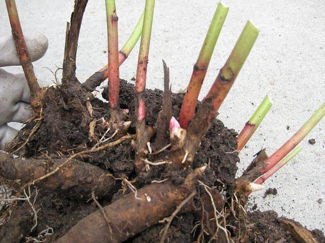 Пион марьин корень фото