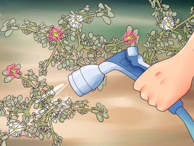 Рисунок, изображающий процесс полива портулака