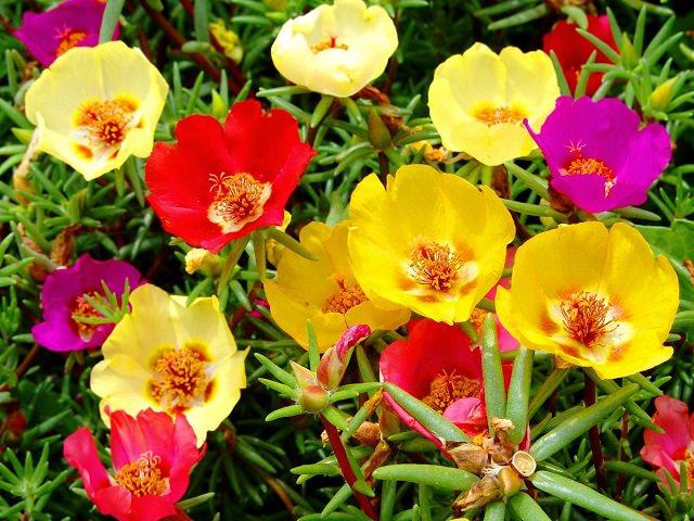 Яркие разноцветные цветки портулака