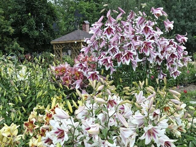 Виды лилий садовых