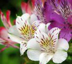 Три цветка альстромерии