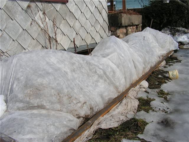 Мальва укрыта на зиму