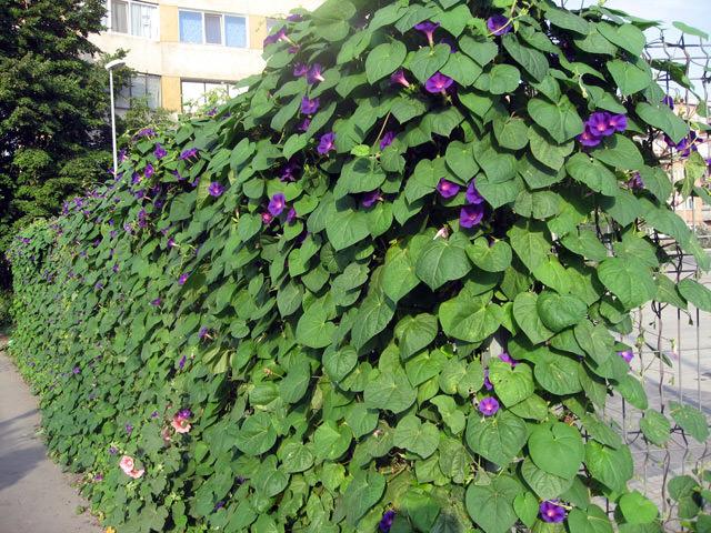 Вьющиеся цветы на забор