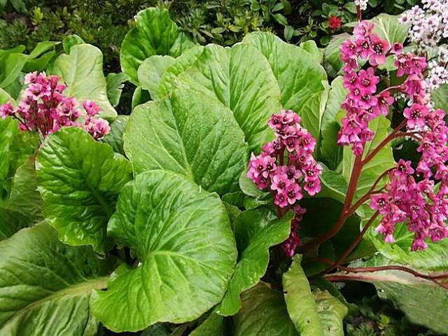 Бадан сердцелистный выращивание и уход