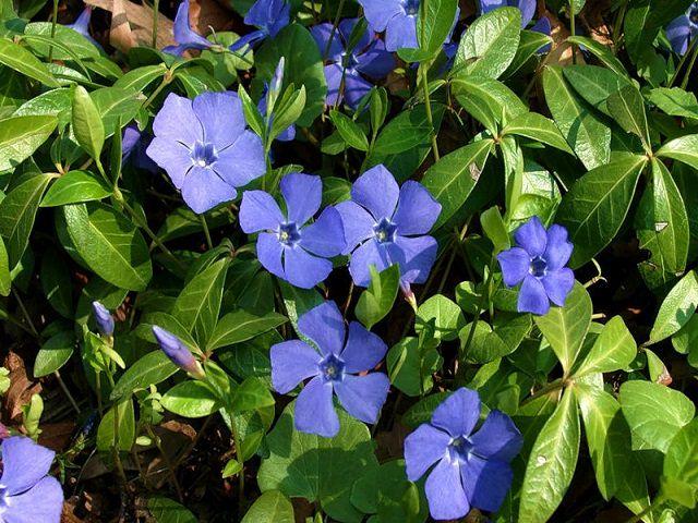Многолетние долгоцветущие цветы