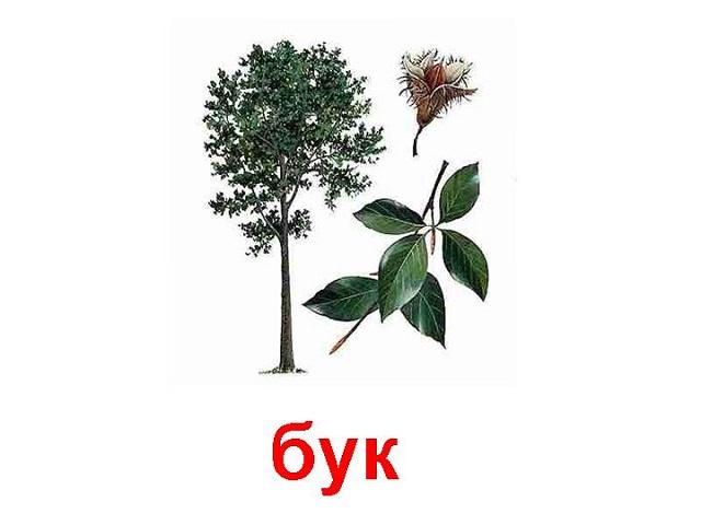 Дерево бук, его листья и цветы