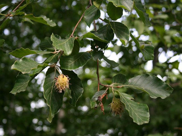 Ветви дерева бук восточный