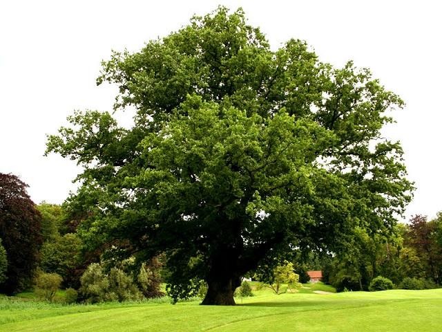 Отдельно растущее дерево бук