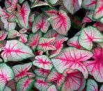 Листья каладиума крупным планом