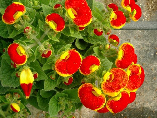 Цветущая кальцеолярия