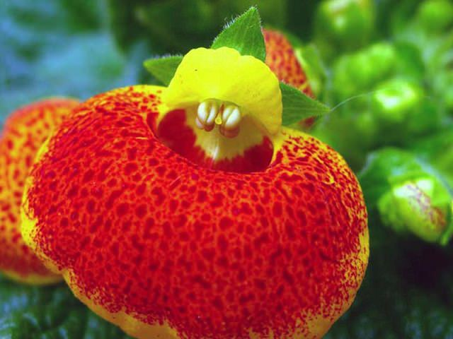 Цветок кальцеолярии крупным планом