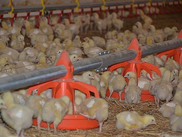 Как сделать кормушки для цыплят бройлеров
